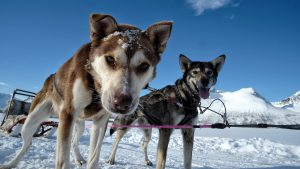 Zwei Huskies