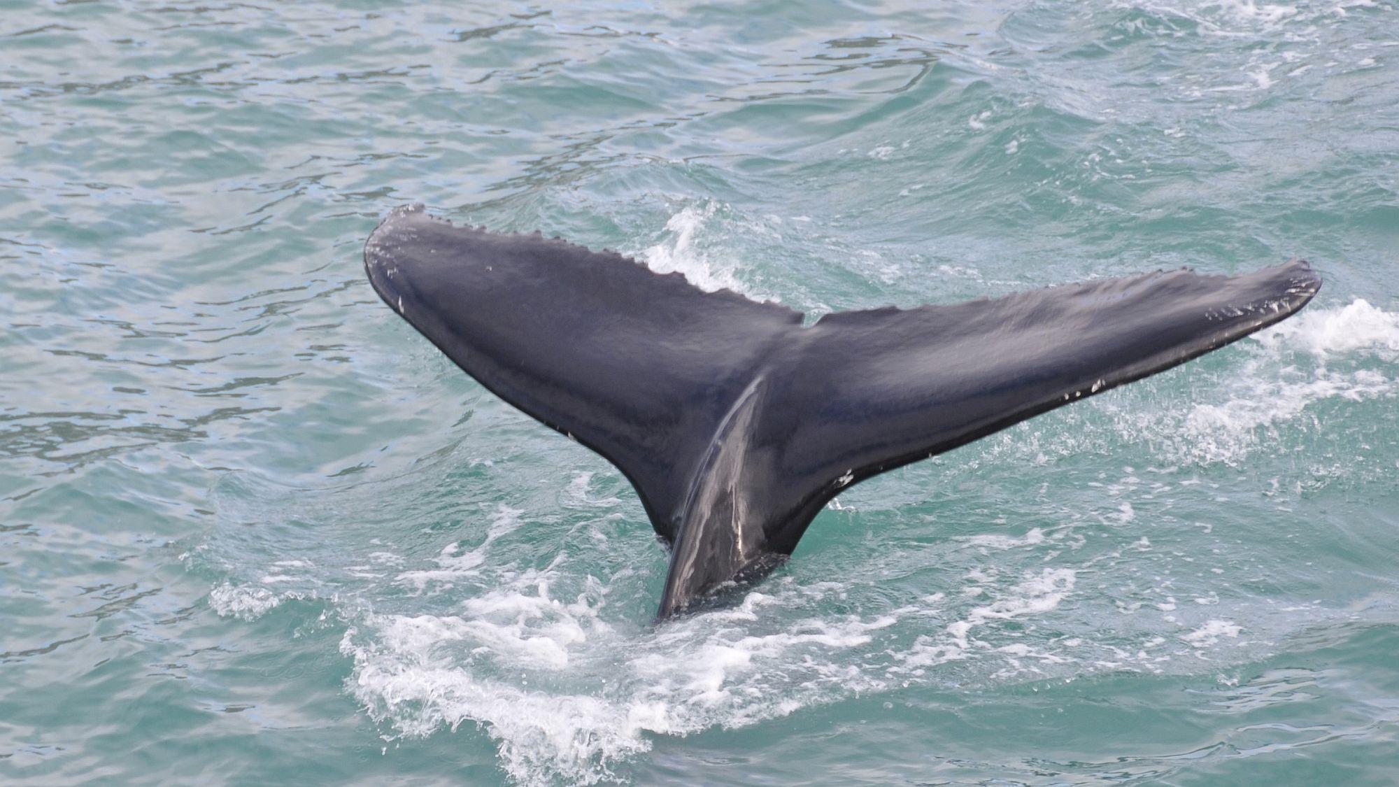 Walfluke im Wasser