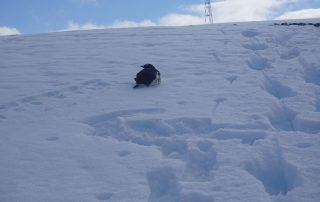 Pinguin erklimmt den Hügel