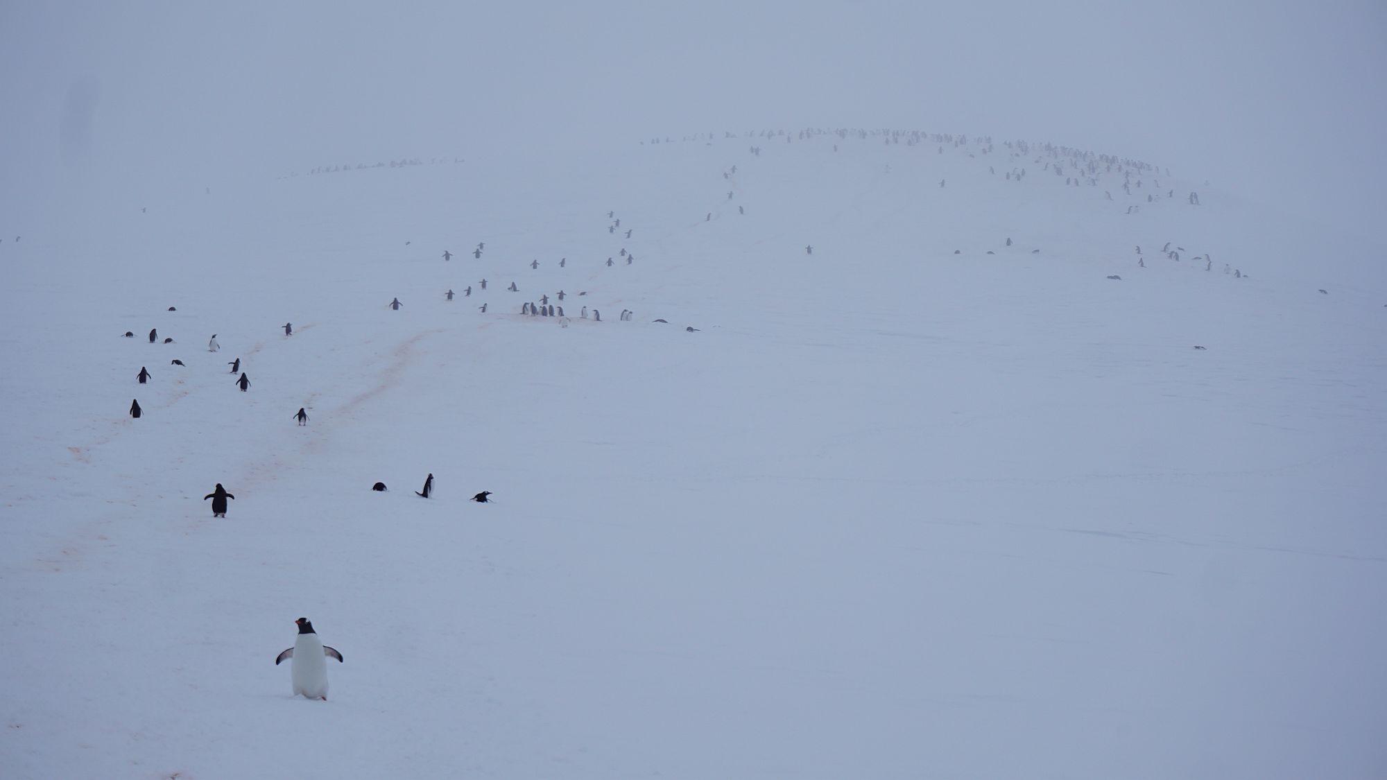 Pinguine im Anmarsch