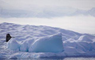 Robbe im Eis
